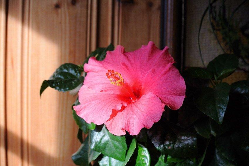 Floraison  dsc_3875_redimensionner_redimensionner
